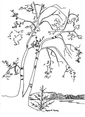 Birch tree drawing by Sybil Perry
